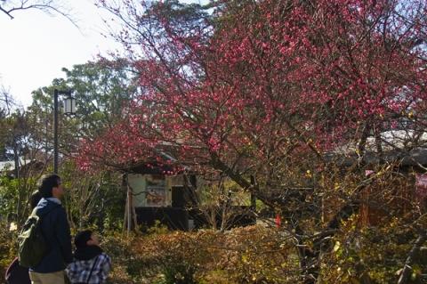 紅梅の花を見る観光客