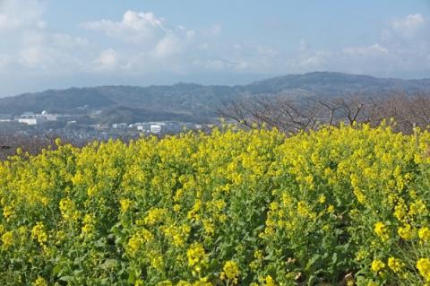 吾妻山公園の菜の花畑