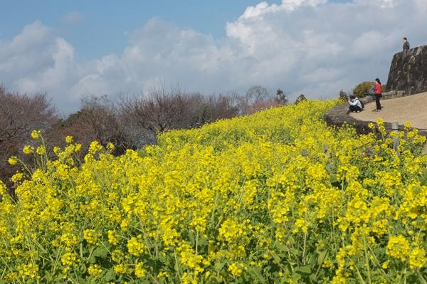 吾妻山公園菜の花ウォッチング