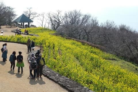 吾妻山公園の菜の花畑を鑑賞する人々