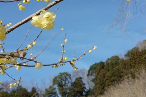 青空を背景にしたロウバイの花