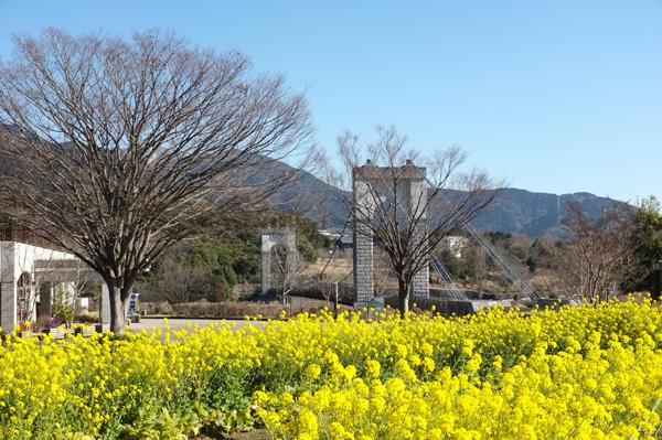秦野戸川公園の風の吊り橋と菜の花