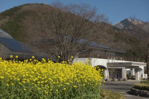 秦野戸川公園の菜の花