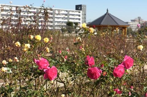 秦野カルチャーパークのバラ園