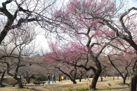 小田原フラワーガーデンの梅園