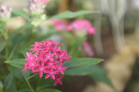 ペンタス・ランケオラータの花