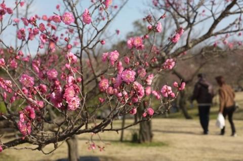 小田原フラワーガーデン早咲きの紅梅