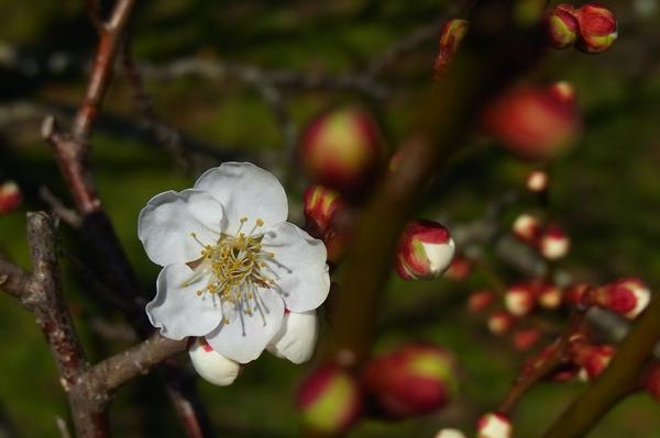 曽我梅林の梅の花と蕾