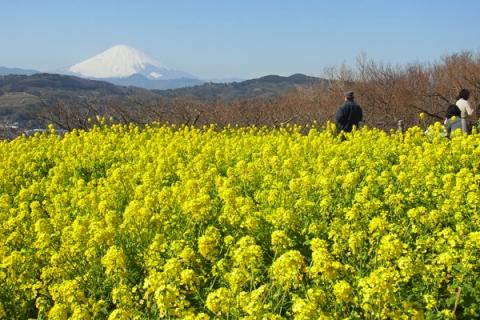吾妻山から菜の花畑と富士山を眺める