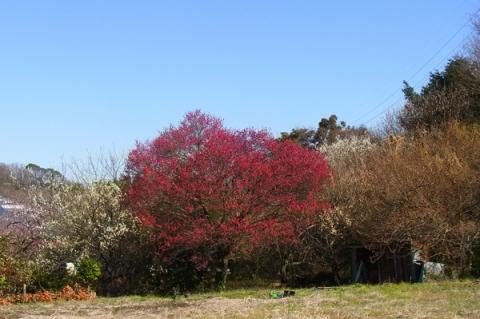 吾妻山中里登山口の梅の花