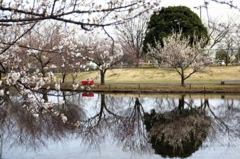 小田原フラワーガーデン梅まつりのハナショウブ池