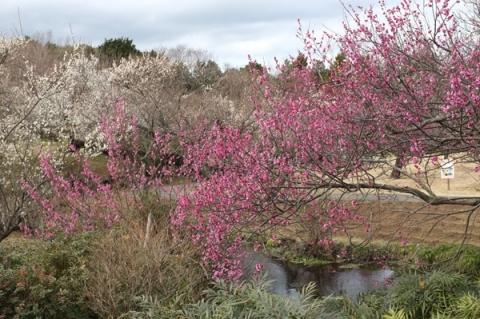 小田原フラワーガーデン渓流の梅園