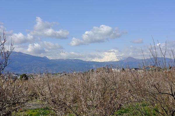 曽我梅林から望む富士山