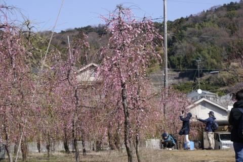 曽我梅林の枝垂れ梅