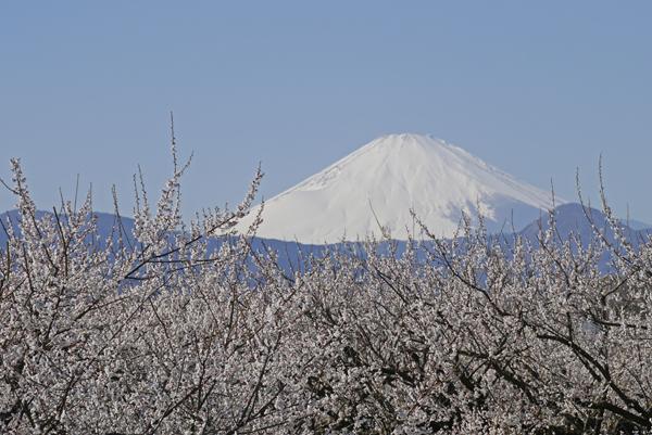 曽我梅林から富士山を望む