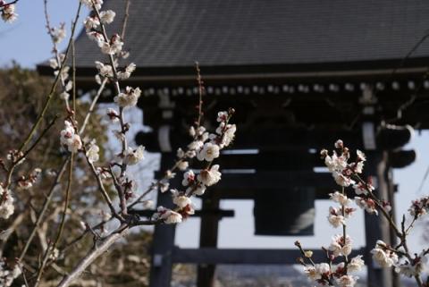 曽我梅林瑞雲寺の鐘を背景にした梅の花