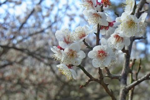 小田原城址公園の梅の花