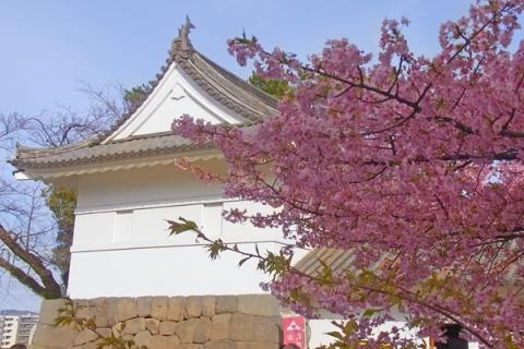 小田原城ミューゼ前のカワヅザクラ