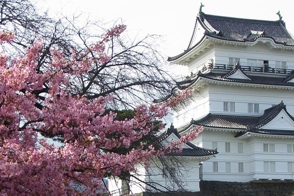 満開の小田原城址公園カワヅザクラ