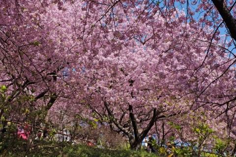 まつだ桜まつり松田山斜面の河津桜