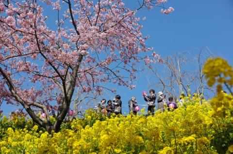 まつだ桜まつりの菜の花と河津桜