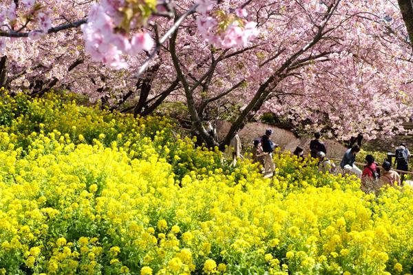 松田山から見下ろす河津桜と菜の花