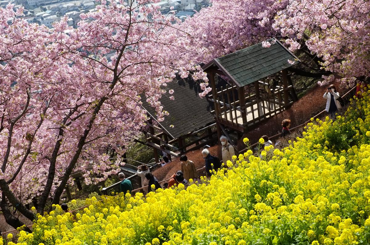まつだ桜まつりの河津桜と菜の花