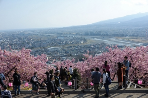 松田山から河津桜を前景に酒匂川と足柄平野を見下ろす