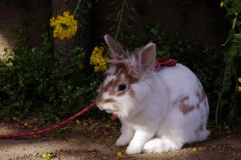 まつだ桜まつりに来ていたウサギ