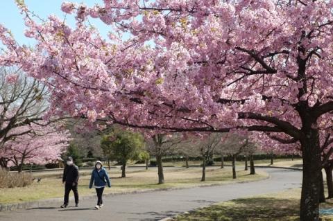 秦野スナップ戸川公園で河津桜の下を歩く人