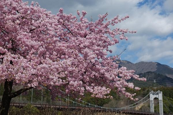 秦野戸川公園風の吊り橋を背景にした河津桜
