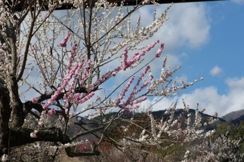 咲き分けの梅