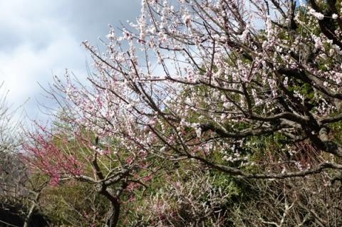 秦野戸川公園の梅の花