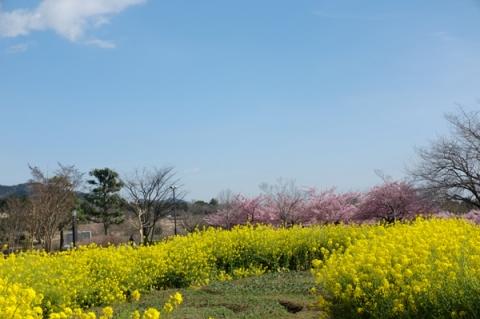 秦野戸川公園菜の花を前景にした河津桜