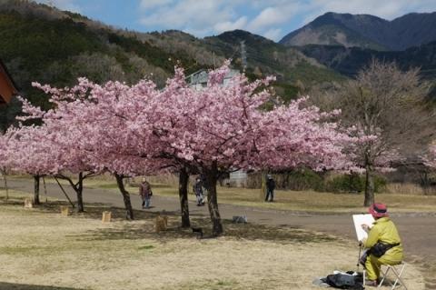 秦野戸川公園で河津桜をスケッチする人