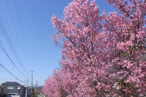 田島桜の里オカメザクラ