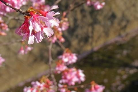 オカメザクラの花
