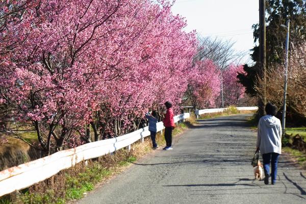 小田原スナップ剣沢川のオカメザクラ