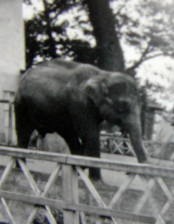 1955年頃の象のウメ子