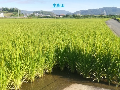8 田圃 稲の生育