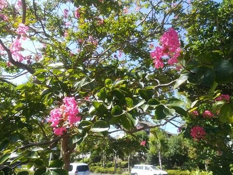 3 サルスベリの花 暑い