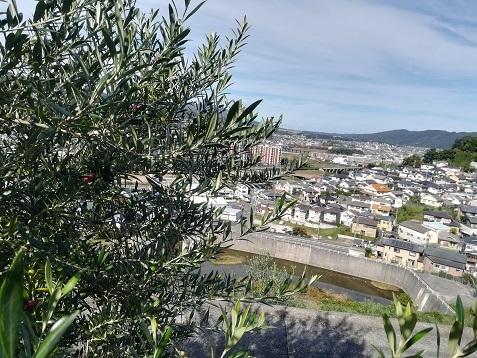 4 明神山登山途中 オリーブの木