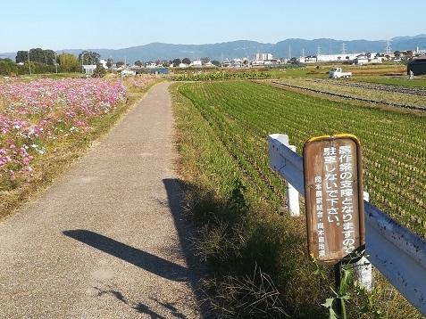7 コスモス畑