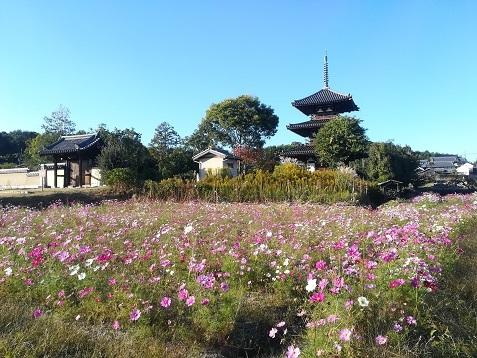 10 法起寺 一番綺麗なコスモスの景色