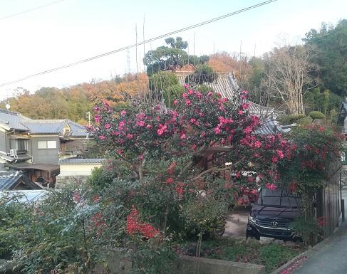 17 麓集落の山茶花