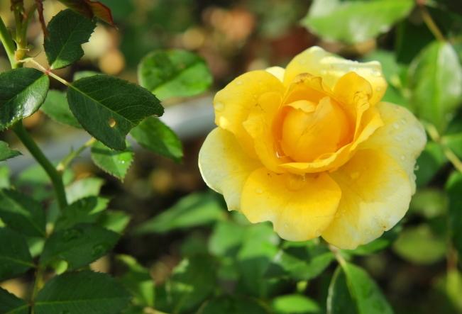 Rosa Gold Bunny