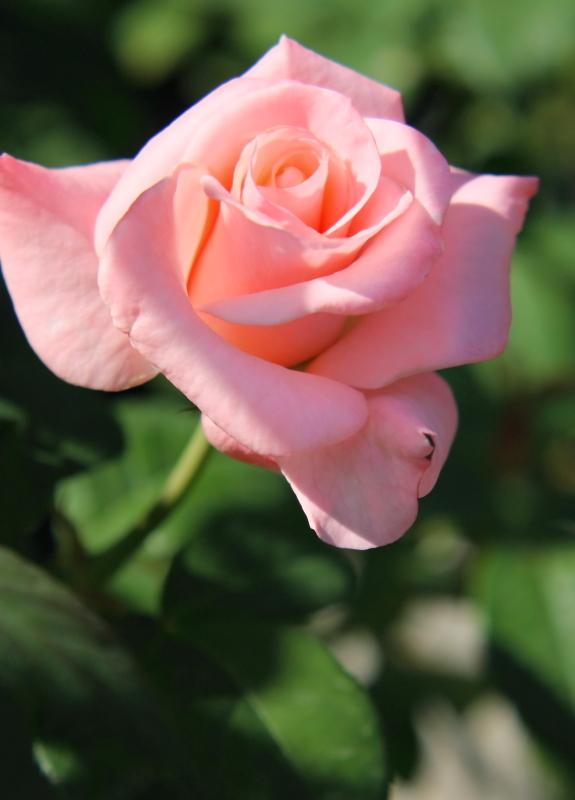 Rosa Libia