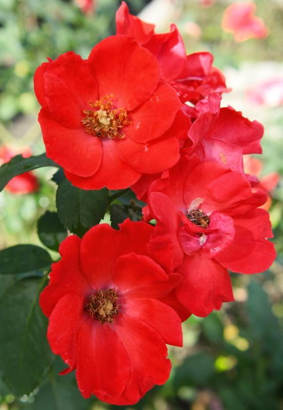 Rosa Sarabande