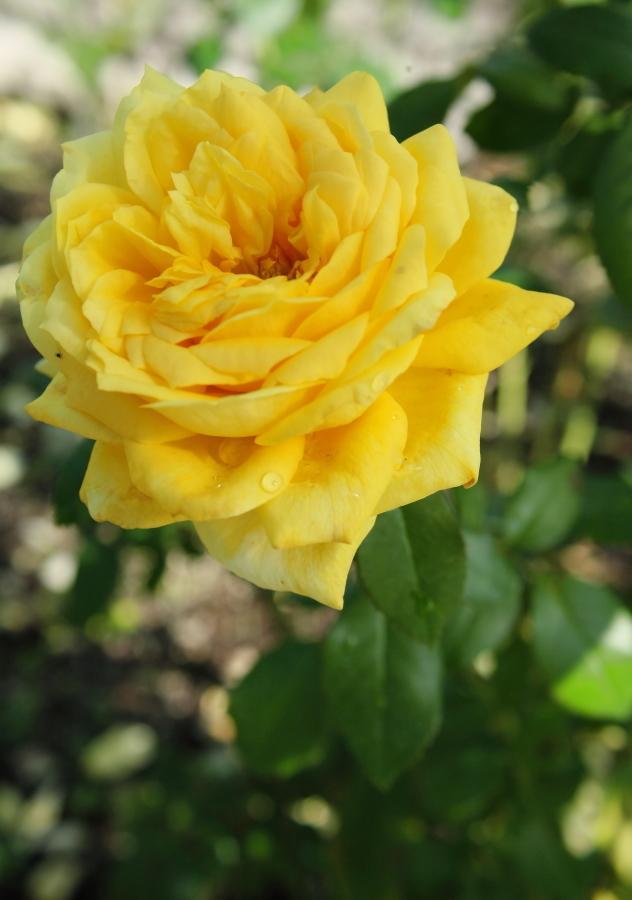 Rosa Toulouse Lautrec