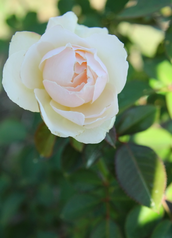Rosa Princess of Wales